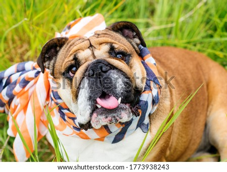 Closeup of portrait of Red English Bulldogs in orange scarf out for a walk in the countrysid