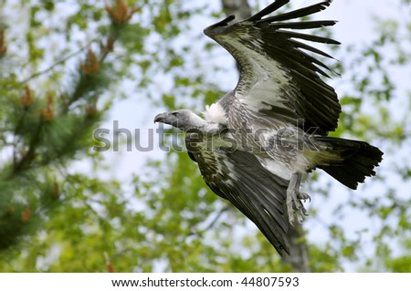 Closeup of profile griffon vulture (Gyps fulvus) in flight on trees background