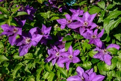 Closeup of purple clematis flowers (Clematis viticella) also kwon as Italian leather flower with green leaves background. Climbing vines of purple flowers.