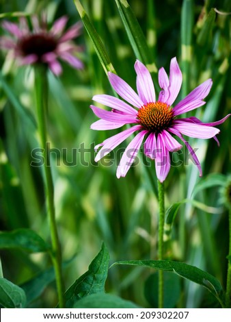 Closeup of purple Echinacea flower ( Cone Flower )
