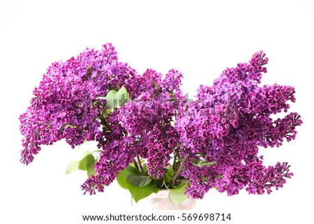 Closeup of purple lilac isolated on white background #569698714