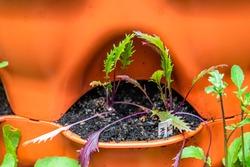 Closeup of purple pink mizuna heirloom Japanese greens salad plants in orange garden vertical container surface pocket with soil macro texture in spring
