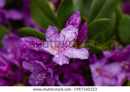 Closeup of purple rhododendron flower on a rainy day. Selective focus, makro. Stock foto ©