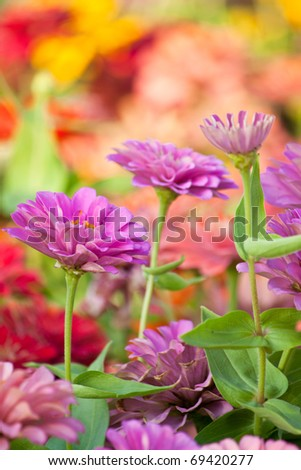 Closeup of purple Zinnia Flower in the garden