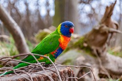 Closeup of rainbow lorikeet. The rainbow lorikeet is a species of parrot found in Australia.