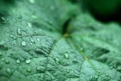 closeup of raindrops on grape leaves
