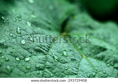 closeup of raindrops on grape leaves #293729408