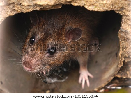 Closeup of rat on a sewer could bee seen from drain grate