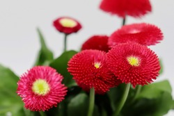 closeup of red daisies (bellis perennis) blossoms