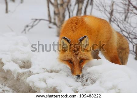 Closeup of red fox en face in snowy wood.