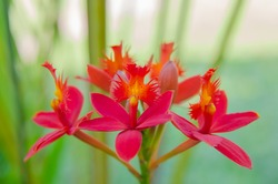 Closeup of red ground orchid flower blooming in the garden
