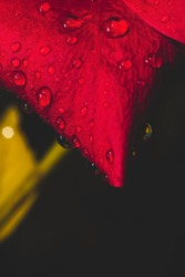 Closeup of red hibiscus flower with water drops.