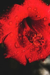 Closeup of red ibiscus flower with water drops.