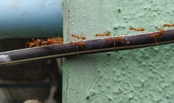 Closeup of red or Orange Color Weaver Ants shifting the dead housefly above the black wire