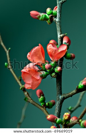 Closeup of red pastel colored cherry blossoms - stock photo