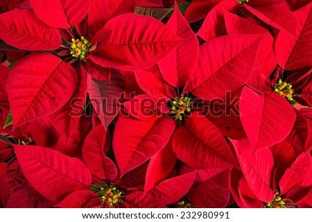 Closeup of red poinsettia flowers (Euphorbia pulcherrima)