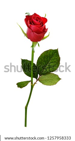 Closeup of red rose flower isolated on white