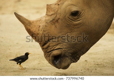 Closeup of rhinoceros with its tickbird #737996740