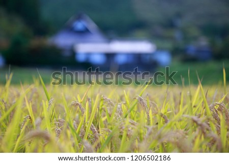 Stock Photo Closeup of rice in field before autumn harvest