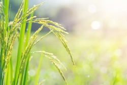 Closeup of rice spike in green paddy field.