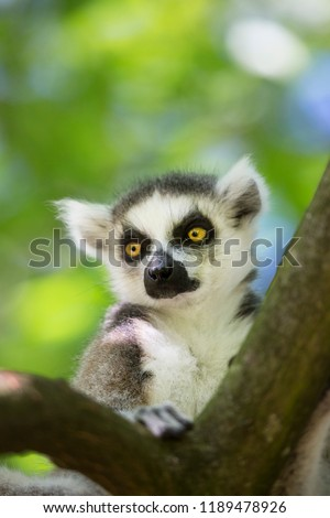 closeup of ring-tailed lemur, Lemur catta, sitting on a tree branch in the canopy and watching surrounding area