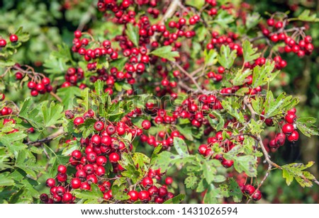 Closeup of ripe and over-ripe bright red berries on a hawthorn bush. One berry was partially eaten, presumably by a bird. The leaves are partly weathered. Summer is coming to an end in the Netherlands