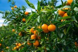 Closeup of ripe juicy mandarin oranges in greenery on tree branches