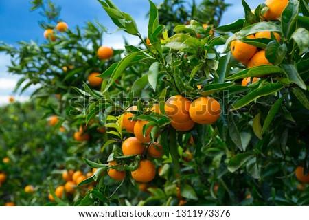 Closeup of ripe juicy mandarin oranges in greenery on tree branches  ストックフォト ©