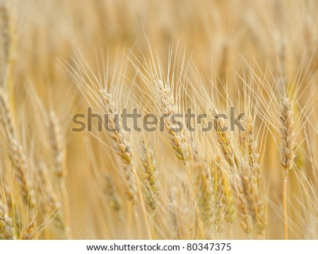 Closeup of ripe wheat