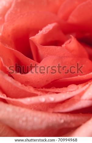 closeup of rose flower with water droplets