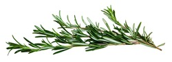Closeup of rosemary. Isolated over white background