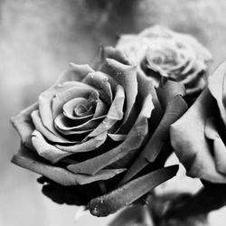 Closeup of roses with water drops. Black and white macro photo. Elegant flowers.