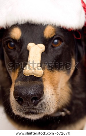 closeup of santa dog with hat and cookie