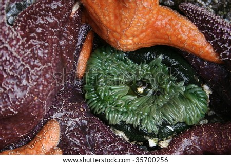 closeup of sea anemone surrounded by starfish all exposed by outgoing tide in Southeast Alaska