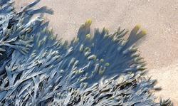 Closeup of seaweed in water on beach