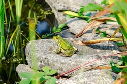 Closeup of shiny green frog on grey rock overlooking pond.