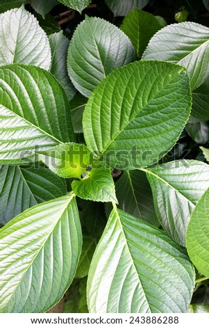 Closeup of shiny green leaves #243886288