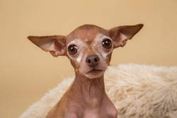 Closeup of side view of cute little brown purebred Toy terrier on blurred background