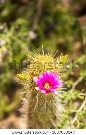 Free photos pink desert flowers 1 avopix closeup of single bright pink magenta flower growing on green desert cactus 1087083149 mightylinksfo