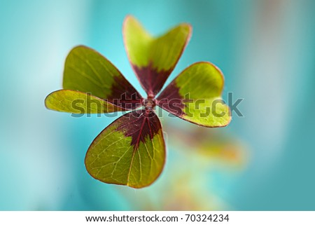 Closeup of single fresh four-leaved clover plant