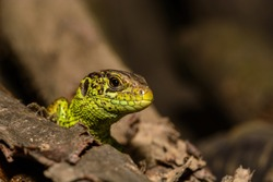 Closeup of small greeen lizard head peeking from behind a piece of wood with head and eye in detail and blurred background