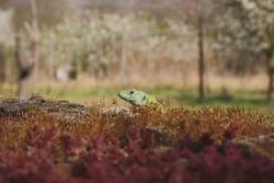 Closeup of small, green lizard peeking