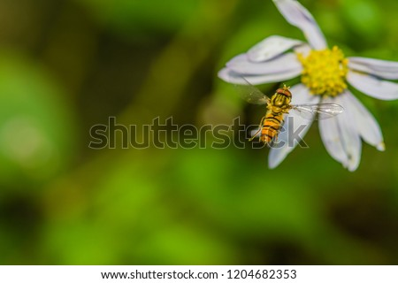 Closeup of small hover fly in midair flying toward white and yellow daisy with blurred green background.