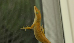 Closeup of small lizard on outdoor window
