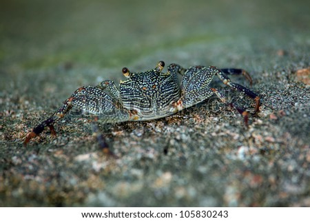 Closeup of small marine crab basking on a rock looking inquisitively at the camera with shallow doff