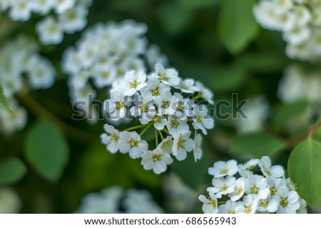 Closeup of small white flowers on bush floral background ez canvas closeup of small white flowers on bush floral background mightylinksfo
