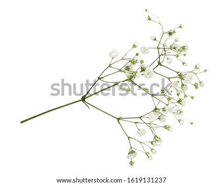 Closeup of small white gypsophila flowers isolated on white Foto d'archivio ©