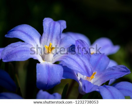 Closeup of some Glory-of-the-snow flowers (Chionodoxa luciliae) in spring