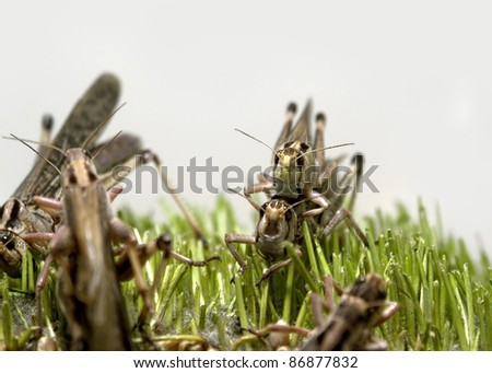 closeup of some grasshoppers in green grass in front of light grey back