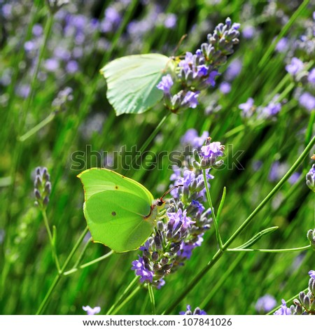 closeup of some green butterflies in lavender flowers in the summer
